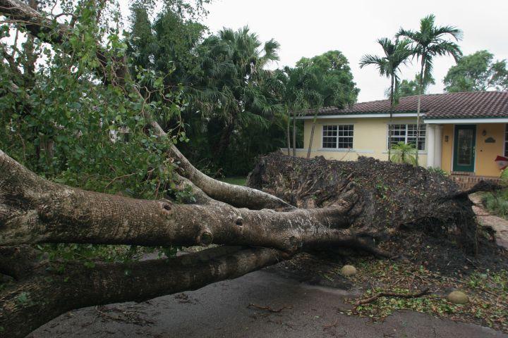 A fallen tree caused by Hurricane Katrina.
