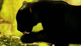 Jaguar Mowgli - Edinburgh
