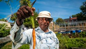 An African American farmer holds up a carrot just pulled from the garden.