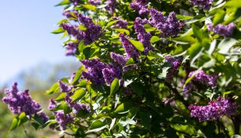 A Sign Of Post-Pandemic Spring: Sniffing Mother's Day Lilacs