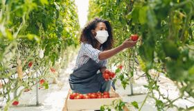 Tomato crop harvest during the covid-19 pandemics