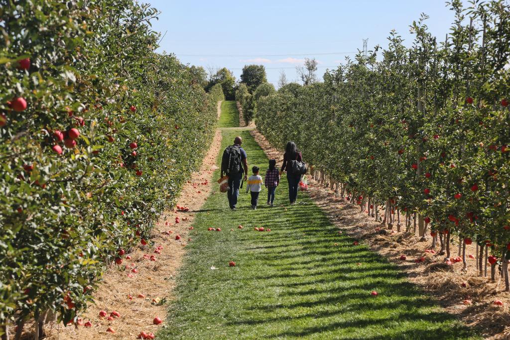 Apple Orchard In Milton