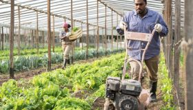 Man cultivates the land with a cultivator in greenhouse farm
